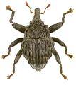 Trigonopterus verrucosus holotype - ZooKeys-280-001-g096.jpg