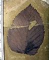 Tsukada davidiifolia 01b 09-21-20 A-2.jpg