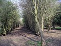 Tunnel of trees - geograph.org.uk - 385140.jpg