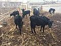 Turkmenabat-farmstead-Turkmenistan-cattle.jpg