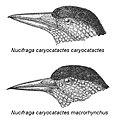 Two Spotted Nutcracker subspecies.jpg
