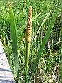 Typha latifolia 1-eheep (5098005908).jpg