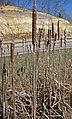 Typha sp. (cattails) (northwestern Jackson County, Ohio, USA) 7 (27132452198).jpg