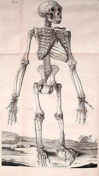 Orang-Outang, sive Homo Sylvestris - Image from Edward Tyson's Anatomy of a Pygmy
