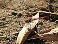 Une mouche dans la region de Tamanrasset.jpg