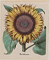 "Unidentified artist - Large Sunflower (Flos Solis Maior), plate 1 from part 5, B. Besler, ""Hortus Eystettensis"", 1713 edit... - Google Art Project.jpg"