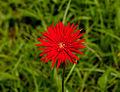 Unidentified flower, Sukorambi Botanical Gardens, Jember 01.jpg