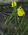 Utricularia vulgaris inflorescens (07).jpg