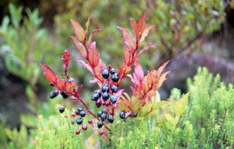 Vaccinium padifolium - Image: Vaccinium padifolium