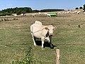 Vaches Pré Route Sauzey Bey Ain 5.jpg