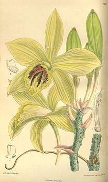 Vanilla Flower Illustration