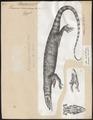 Varanus arenarius - 1700-1880 - Print - Iconographia Zoologica - Special Collections University of Amsterdam - UBA01 IZ12400025.tif