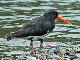 Variable Oystercatcher RWD3.jpg