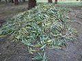Vathaba - Planting Pineapples Phaze 2.jpg