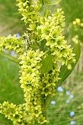 Veratrum album ssp. lobelianum PID1879-1.jpg