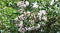 Vernonia divergens-1-sanyasimalai-yercaud-salem-India.JPG