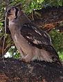 Verreaux's eagle-owl, or giant eagle owl, Bubo lacteus eating a snake at Pafuri, Kruger National Park, South Africa (20675951922).jpg