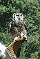 Verreux Eagle Owl (1259525338).jpg