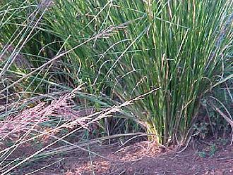 Chrysopogon zizanioides - Image: Vetiveria zizanioides 0