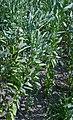 Vicia faba plant (02).jpg