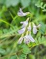 Vicia sylvatica in Morzine (4).jpg