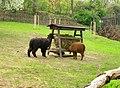 Vicugna pacos, Prague zoo.jpg