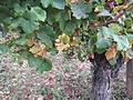 Vigne Louis Pasteur 018.JPG