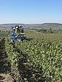 Vigne Pinot Noir (Efeuillage) Festigny Cl.J.Weber16 (23651641266).jpg
