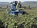 Vigne Pinot Noir (Efeuillage) Festigny Cl.J.Weber21 (23050670813).jpg