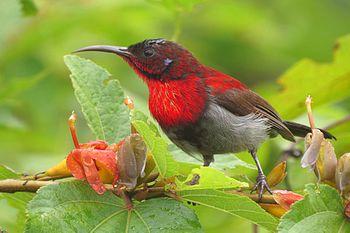 Vigor's sunbird.jpg