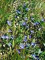 Vinca herbacea 21(3). Khortitsa.jpg