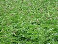 Vincetoxicum rossicum 5452385.jpg