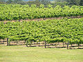 Vineyards in Hunter Valley.jpg