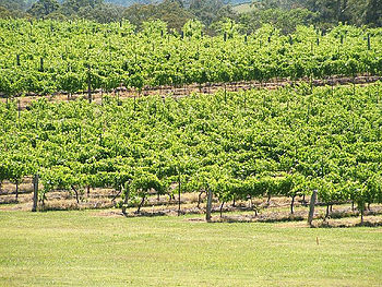 Vineyards in the New South Wales wine region o...
