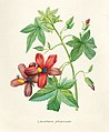 Vintage Flower illustration by Pierre-Joseph Redouté, digitally enhanced by rawpixel 46.jpg
