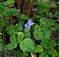 Viola riviniana 2.jpg