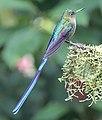 Violet-tailed sylph (32885147547).jpg