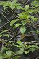 Vireo Garganta Amarilla, Yellow Throated Vireo, Vireo flavifrons (11915832855).jpg