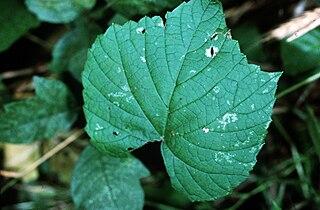 <i>Vitis vulpina</i> species of plant