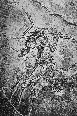 Objections to evolution - 1880 photo of the Berlin Archaeopteryx specimen, showing leg feathers that were removed subsequently, during preparation.