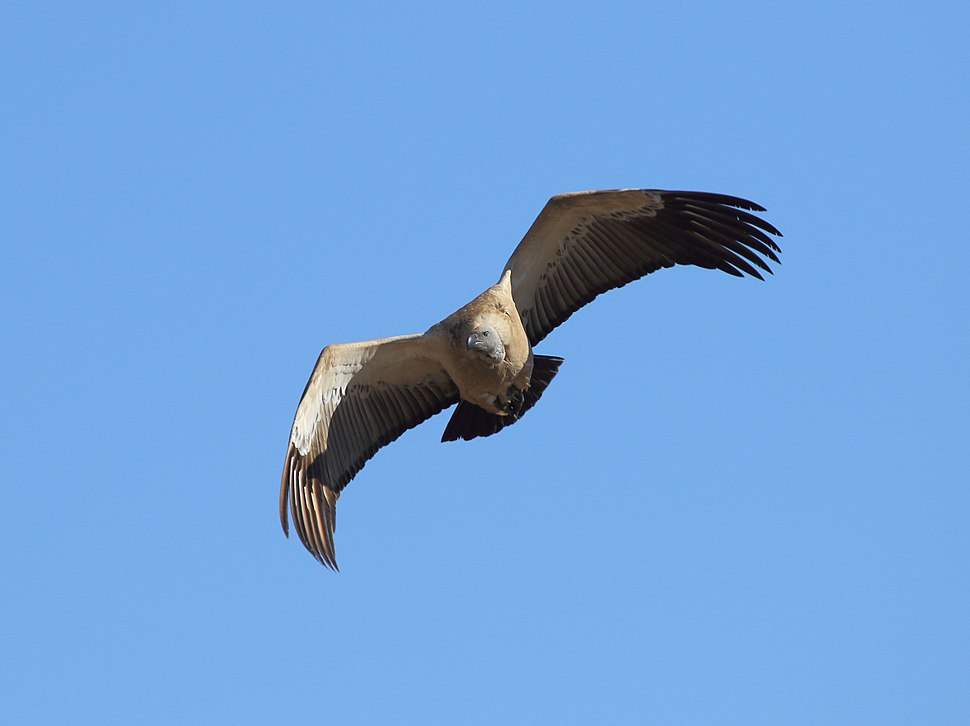 Vulture Cape 2017 06 16 7098