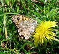 Wall Brown. Lasiommata megera. U-S - Flickr - gailhampshire.jpg