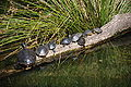 Washington DC Zoo - Eastern painted turtles 3.jpg