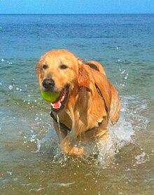 Guide Dog Rescue Adoption