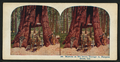 Wawona, as we drove through it, Mariposa Grove, Cal, from Robert N. Dennis collection of stereoscopic views.png