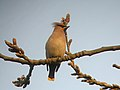 Waxwing in Temple of Heaven.JPG