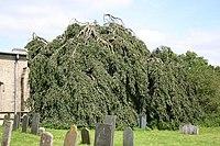 Weeping Beech - geograph.org.uk - 525739.jpg