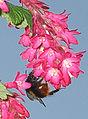Weidehommel op Ribes sanguineum (Bombus pratorum).jpg