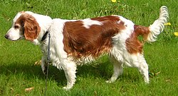Welsh Springer Spaniel Breed Dog