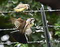 Western Kingbird (fledges and parents) (42714206565).jpg